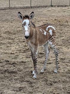 Interesting Animals, Unusual Animals, Rare Animals, Animals And Pets, Funny Animals, Most Beautiful Horses, Pretty Horses, Animals Beautiful, Baby Horses