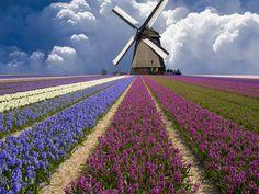 """INOLVIDABLES PAISAJES DE HOLANDA Y LOS PAÍSES BAJOS!!! (LÍNEA AÉREA """"KLM"""" de HÍPER-LUJO! netherlands-flower-fields-"""
