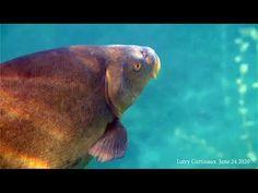 Fish Tinca tinca (tanches) mating behavior. Comportement de cour chez le...