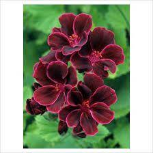 pelargonium lord bute - Google Search