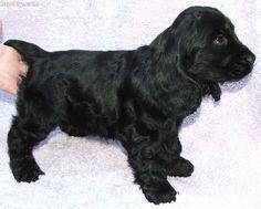 English Cocker Spaniel Pup ~ Classic Look Cocker Spaniel Puppies, English Cocker Spaniel, Most Beautiful Dogs, Beautiful Boys, Holsters, Dog Paintings, Cute Pins, Jack Black, Spaniels