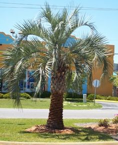 Pindo Palm Tree - Cold Hardy Palms | Southern Select Palms | Tropical & Indoor Palms - Willis Orchard Company
