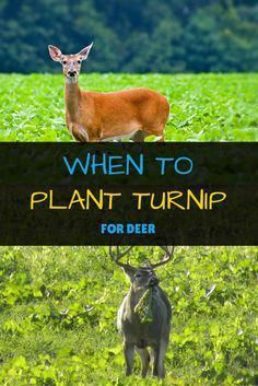 When To Plant Turnips For Deer The Facts You Need To Know Are You Wondering When To Plant Turnips For Dee Deer Hunting Tips Food Plots For Deer Quail Hunting