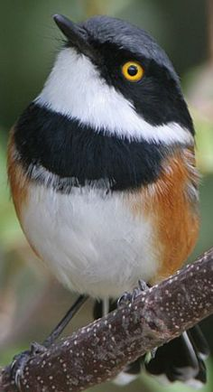 CAPE BATIS  (Batis capensis) -  small passerine bird in the wattle-eye family. It is resident in the highlands of southern and eastern South Africa and Zimbabwe.