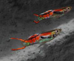 Offering live Endlers guppies for sale daily