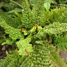 Polystichum setiferum 'Plumosomultilobum' one of the most unique looking, and my very favorite, ferns.