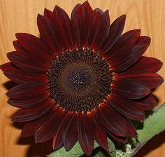 chocolate sunflowers  I want some of these to plant in front of the barn!!!!