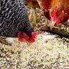 Разведение кур http://agroxxi.ru/zhivotnovodstvo/stati/razvedenie-kur.html  Наверное трудно представить себе частное подворье без кур. Точно установить когда и каким образом зародилось птицеводство тоже вряд ли возможно, однако факт остается фактом— куры распространены практически повсеместно и занимают и являются самой распространенной домашней птицей
