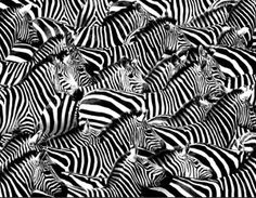 Why the Zebra? | The Ehlers Danlos Society