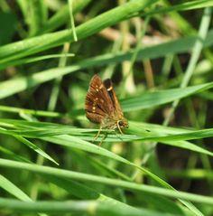 Pompeius verna (Hesperiidae) 07/13, Pierce Co.