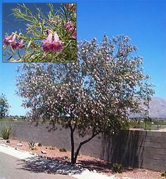 The desert willow is a great small tree for arid climates and is LOVED by…