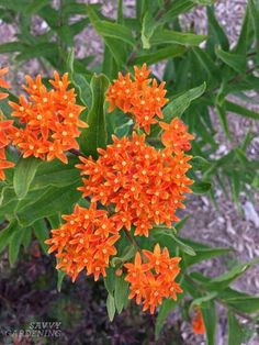 Asclepias tuberosa Butterflyweed, Butterfly milkweed, Orange milkweed, Pleurisy root, Chigger flower It is commonly known as Butterfly Weed because of the butterflies that are attracted to the plant by its color and its copious production of nectar. Butterfly Weed, Orange Butterfly, Butterflies, Butterfly Flowers, Peruvian Lilies, Full Sun Plants, Water Plants, Shade Perennials, Flowers Perennials