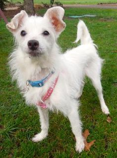2 / 22 ***SENIOR*** Petango.com – Meet Firefly, a 11 years Poodle, Miniature / Chihuahua, Short Coat available for adoption in SALEM, OR Contact Information Address 4246 Turner Road SE, SALEM, OR, 97317 Phone (503) 585-5900 Website http://www.whs4pets.org Email info@whs4pets.org