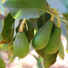 Avocados , Lonquen