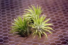 Some of the #Tillandsias we sell
