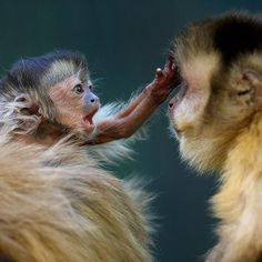 Here's a cute photo of our baby Capuchin Monkey to help get you through the afternoon! www.zoo.org.au/melbourne