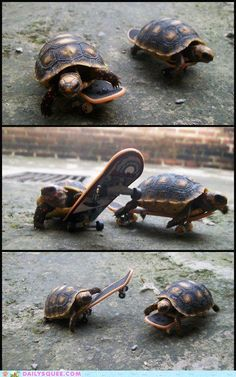 Turtles and skateboards together make an irresistible combination.