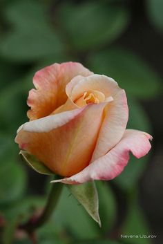 Image result for side view of a small  budded rose