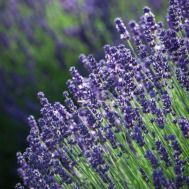Lavender 'Munstead' is perfect for cutting and drying, and is the best compact variety to grow in container pots. Garden Seeds, Garden Plants, Container Plants, Container Gardening, Red Climbing Roses, Summer Plants, Plants Online, Garden Planning, Gardens