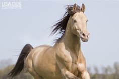 87,5% Arabian, 6,25% Saddlebred, 6,25% Quarter Horse stallion Kharamel GF