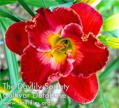 Daylily, Hemerocallis 'Copperhead Rose' (Haehn, 2012)