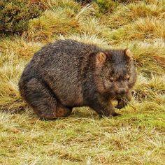Wombat at Cradle Mountain Lodge, Cradle Mountain National Park, Tasmania. by lpcorin