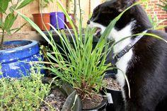 Lemon Grass being enjoyed by Fums