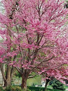 Our Favorite Small Trees Redbud Valued for its outstanding display of pink or white flowers in spring, redbud is an easy-to-grow small tree with delightful heart-shape leaves that turn golden-yellow in fall. It thrives in sun or partial shade and is nativ Trees And Shrubs, Flowering Trees, Trees To Plant, Redbud Trees, Tree Planting, Pagoda Dogwood, Golden Rain Tree, Fringe Tree, Japanese Tree
