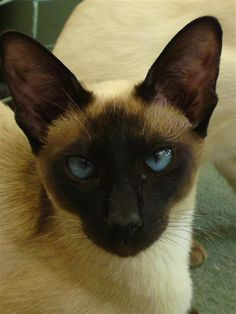 Saffie: Seal Point North West Siamese