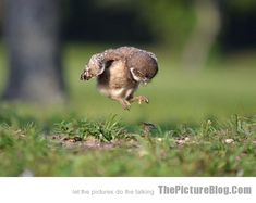 Baby owl learning to fly