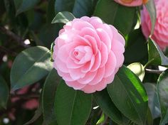 Camellia-Love these.  I need more along the side of my house.  They bloom in winter a bonus in the south