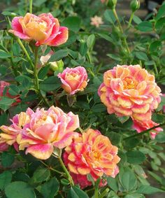 Look what I found on #zulily! Mini Splish Splash Rose - Set of Three by Cottage Farms Direct #zulilyfinds