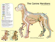 An acupressure chart for dogs acupuncture meridians pinterest the canine meridians solutioingenieria Image collections