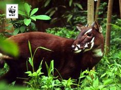 "Only discovered by science in 1992, the saola is so mysterious it's known as the ""Asian Unicorn."" Critically endangered and found only in Laos and Vietnam, this near-mystical creature and its forest home are in danger."