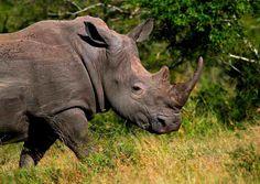 Nosorożce są grupą pięciu zachowanych do dziś gatunków z rodziny nosorożcowatych. Dwa z tych gatunków żyje w Afryce, a trzy w Azji Południowej.