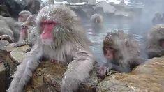 ...und hier gibt´s ein Video-Beweis darüber, dass auch die Tiere in dem Thermalwasser baden LIEBEN! Sie wissen ganz genau, was ihnen gut tun! Affen im Japan. Sind sie nicht gescheit? Japan, Fictional Characters, Animals, Muscle, Cute Pets, Knowledge, Fantasy Characters, Japanese