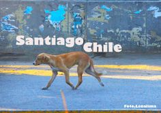 OS VIRA-LATAS DE SANTIAGO DO CHILE PARTE 1Por lei, é proibido maltratar os animais É o povo quem cuida é tudo bem limpo.