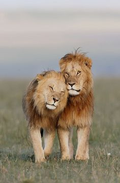 by Olivier Delaere Beautiful Lion, Most Beautiful Animals, Majestic Animals, Lion Images, Lion Pictures, Nature Animals, Animals And Pets, Cute Animals, Lion Photography