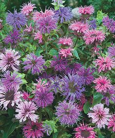 Look at this #zulilyfind! Live Mixed Blue Bee Balm Plant - Set of Three by Michigan Bulb Company #zulilyfinds