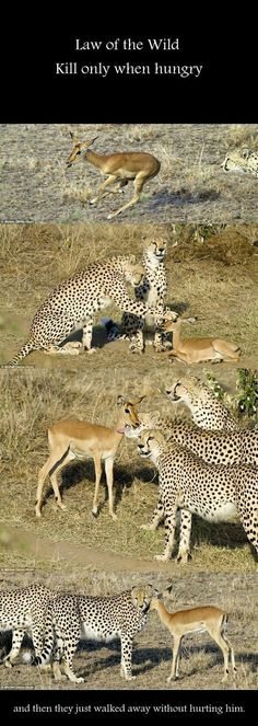 "Fake - Circulating with different false stories including: ""Three Cheetah brothers befriend a baby impala.- Fake started by ""The Daily Mail"". The rest of the photos in the series show that things did not end well for the baby impala. http://www.keithruffles.com/2010/02/daily-mail-fails-to-tell-whole-picture.html The series is at the link....."