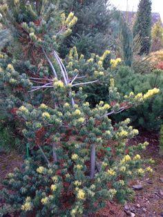 Pinus parviflora 'Fukai'