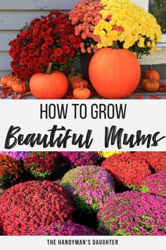 Learn the secrets to growing the best fall mums in your garden or planters! From selecting the right plant to pruning tips you'll find all the information you need here! Mums pair beautifully with pumpkins for the perfect fall decor! Learn the secrets to Garden Mum, Autumn Garden, Gardening For Beginners, Gardening Tips, Container Gardening, Urban Gardening, Mum Planters, Fall Mums, Fall Flowers