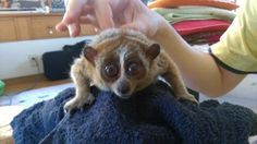 こなたん! Slow Loris, Animals, Animal Pictures, Animales, Animaux, Animais, Lemur, Animal