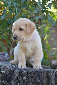 Labrador puppies are so curious like Dizzy in my story. amazon.com/author/evethomson
