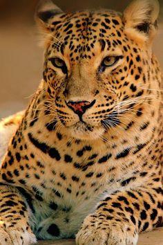 Leopard (Female)  By Ali Arsh