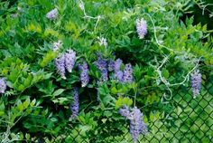 Annual or perennial flowers, or a deciduous or evergreen vine - learn about ways to cover a fence.