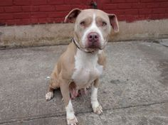 SAFE --- URGENT - Brooklyn Center    LITTLE MAMA - A0993218   FEMALE, TAN / WHITE, PIT BULL MIX, 3 yrs  STRAY - STRAY WAIT, NO HOLD Reason STRAY   Intake condition NONE Intake Date 03/06/2014, From NY 11691, DueOut Date 03/09/2014 https://www.facebook.com/photo.php?fbid=768452106501004&set=a.768452086501006.1073743030.152876678058553&type=3&theater