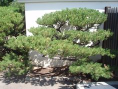 Niwaki - pruned mugo pine
