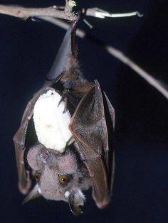 fruit bat -- talk about stuffing your face!