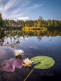 Finland - by Asko Kuittinen Helsinki, Lotus Garden, Forest Painting, Tree Leaves, Water Lilies, Running Away, Peace Of Mind, Four Seasons, Norway